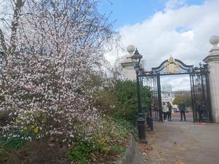 ロンドンで楽しむお花見と春のお散歩