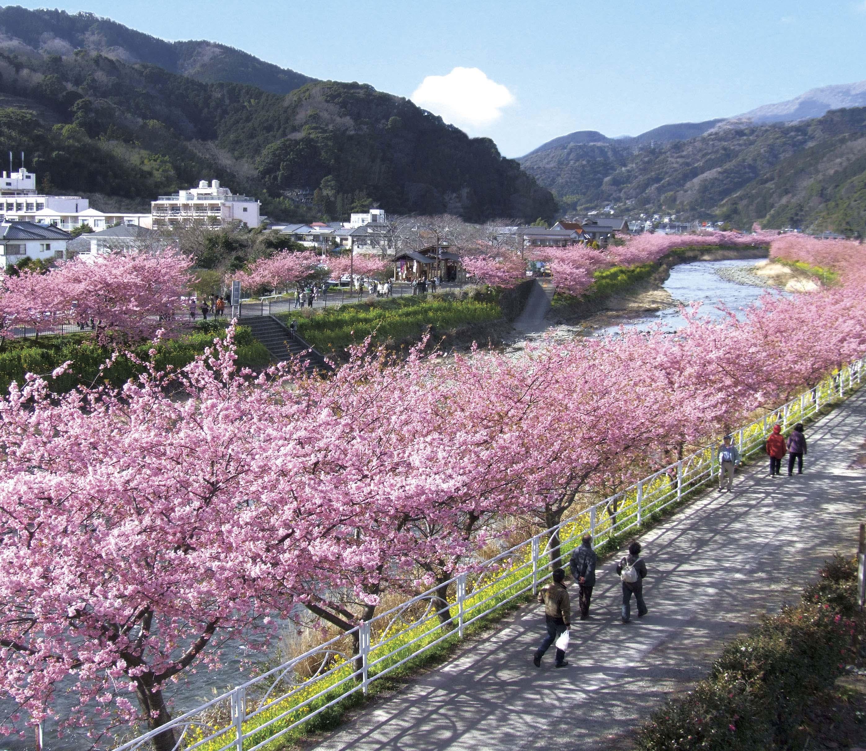 の 見つかっ 桜 が は た の 河津 苗 原木