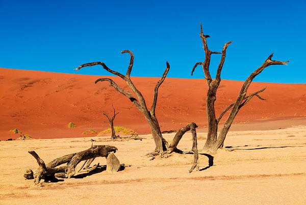 ナミブ砂漠の木